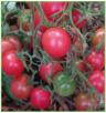 Rose Quartz Multiflora